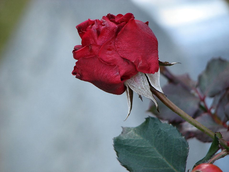 A dried red rose : Free Stock Photo