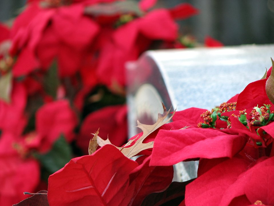 Red flowers by a tombstone : Free Stock Photo