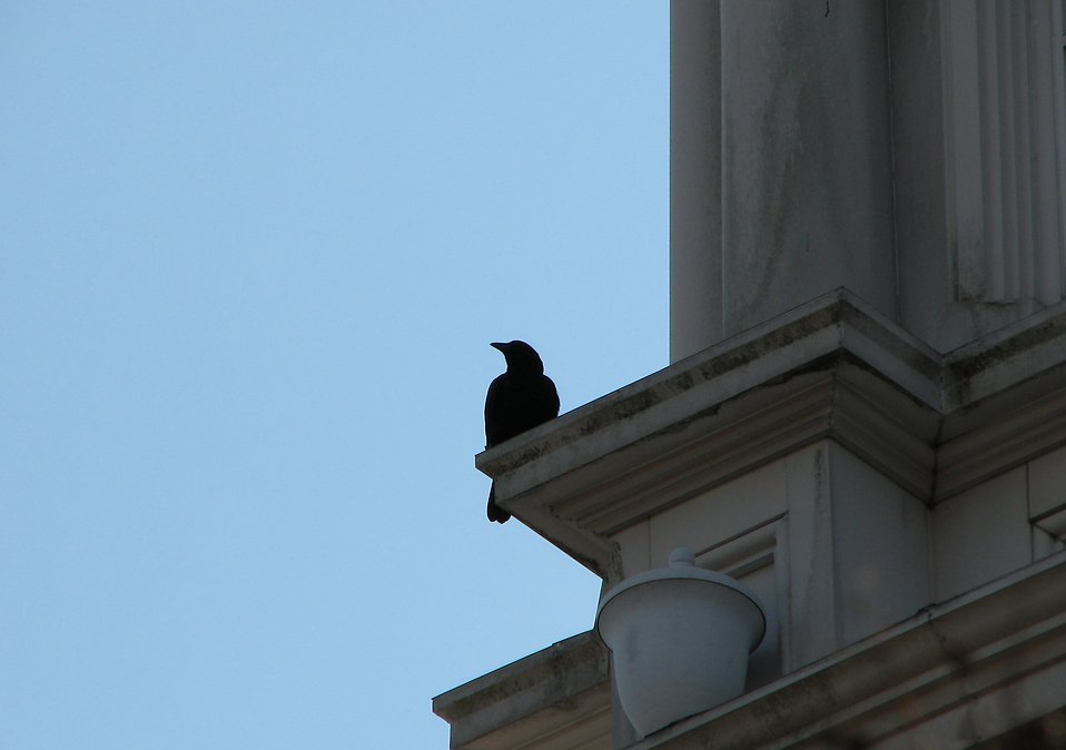 Crow on a building ledge : Free Stock Photo