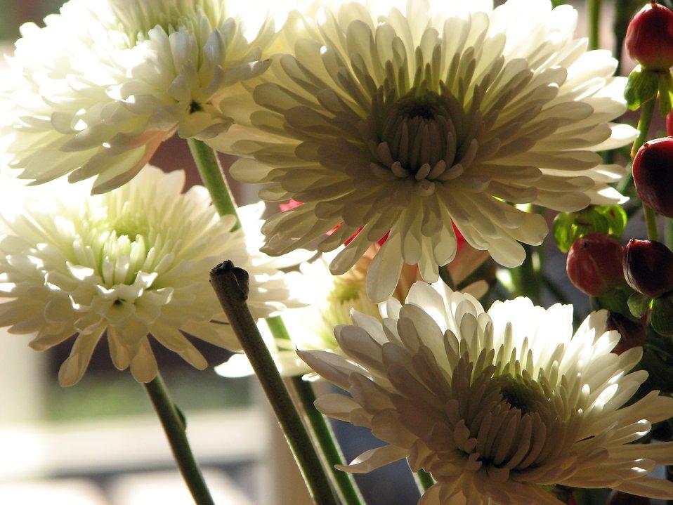 Closeup of white flowers in window sunlight : Free Stock Photo
