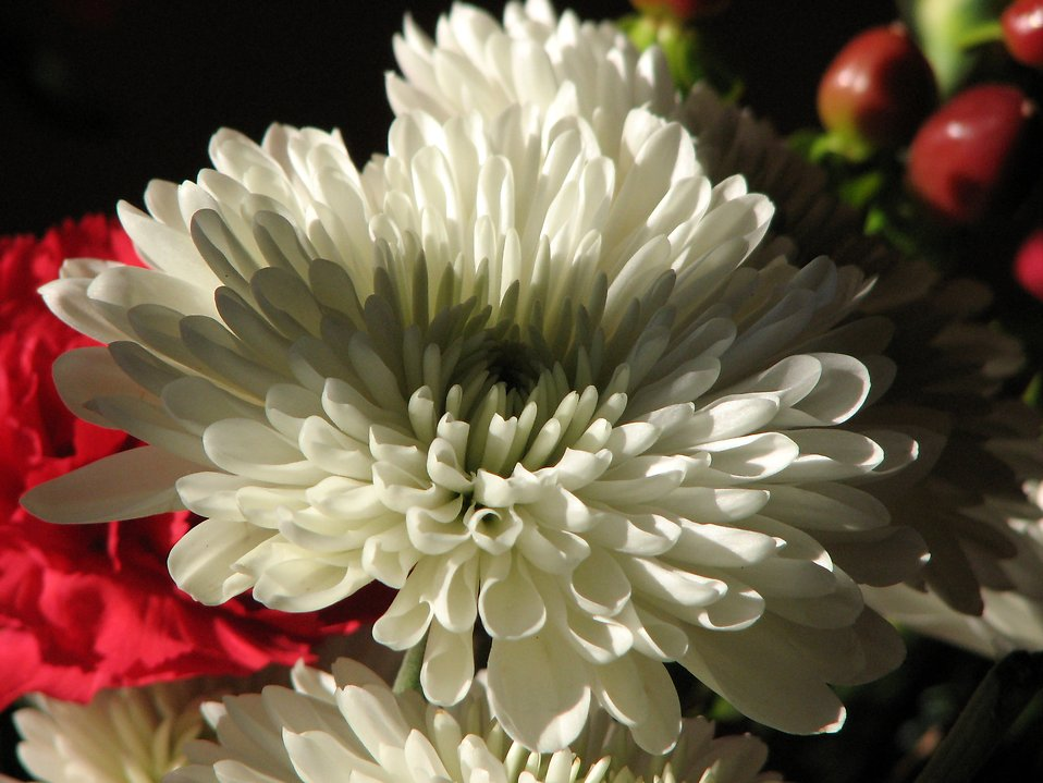 Closeup of red and white flowers : Free Stock Photo