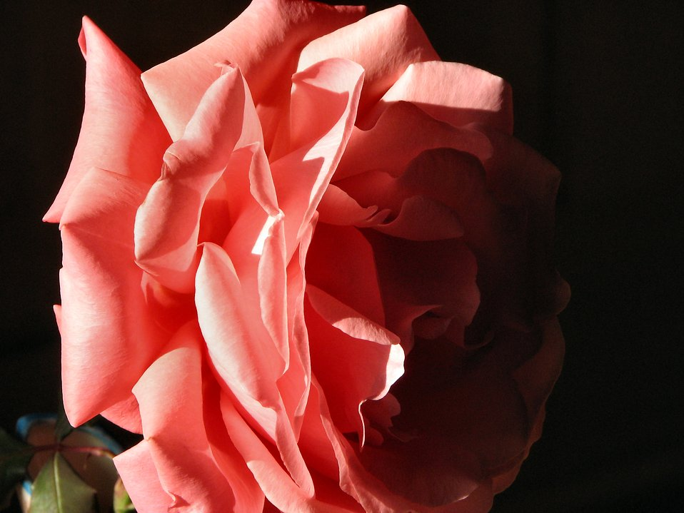 Closeup of a pink camellia in the shadows : Free Stock Photo