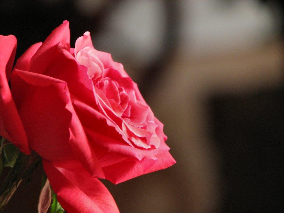 Closeup of a pink rose : Free Stock Photo