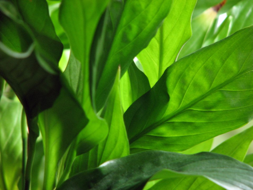 Closeup of green leaves : Free Stock Photo