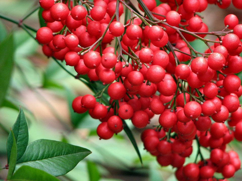 Closeup of red berries : Free Stock Photo