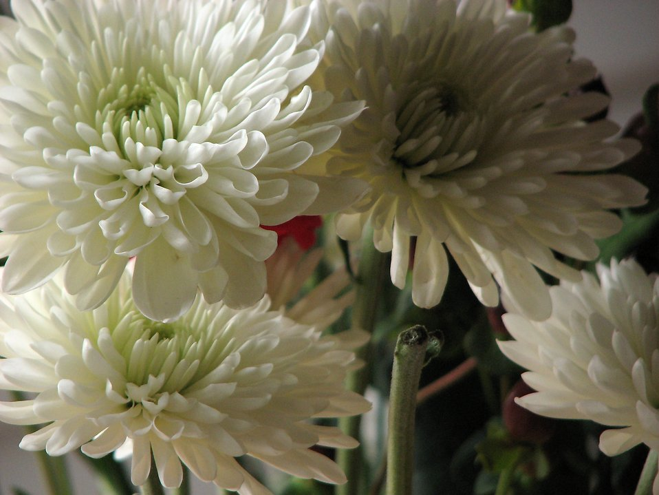 Closeup of white flowers : Free Stock Photo