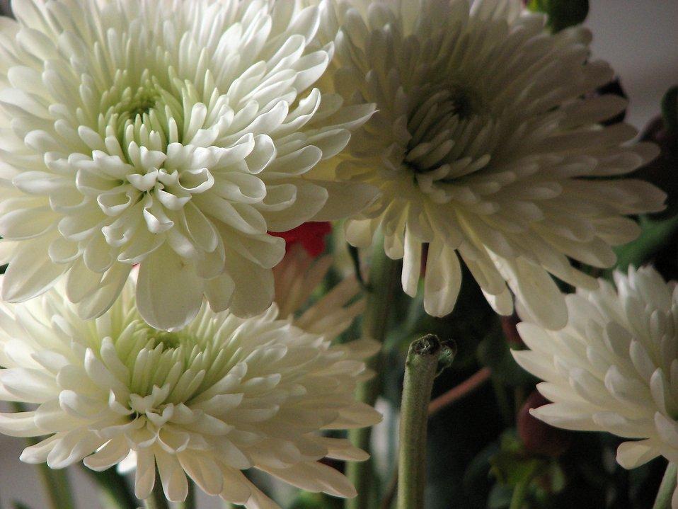 Closeup of white flowers : Free Stock Photo
