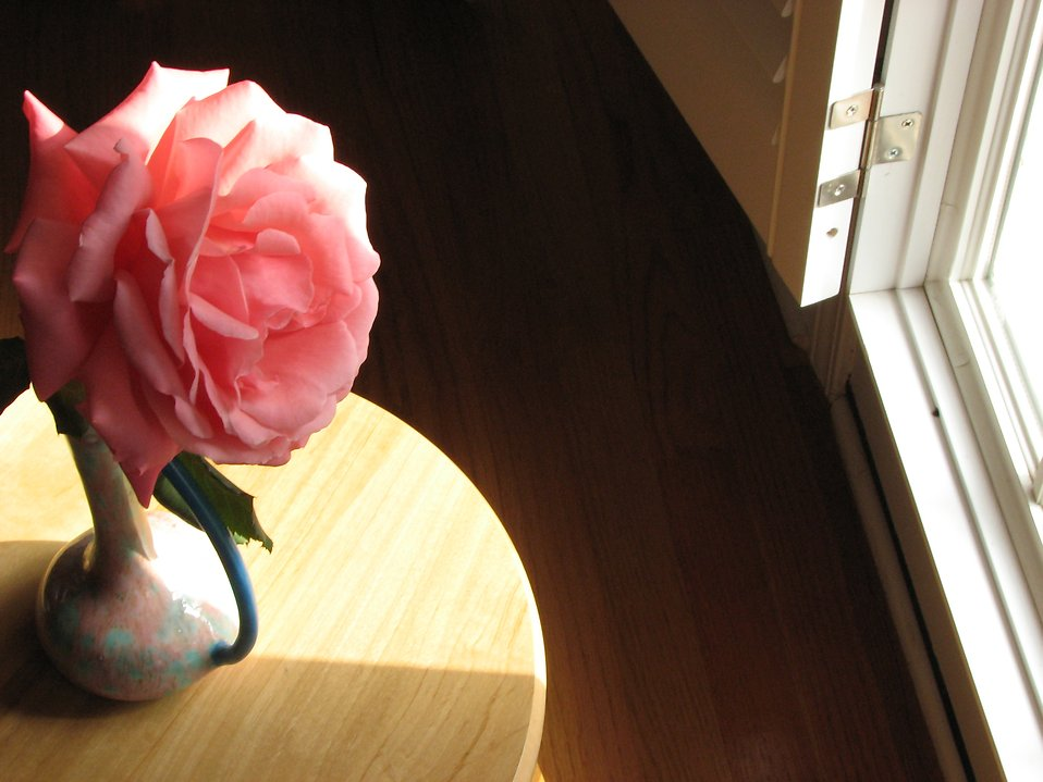 Large pink camellia by a sun lit window : Free Stock Photo