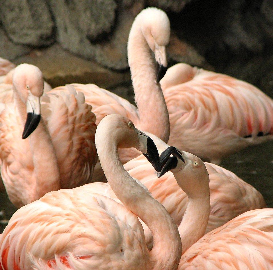 Closeup of 4 flamingos : Free Stock Photo