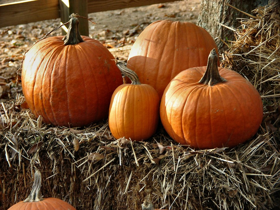 Pumpkins and straw : Free Stock Photo