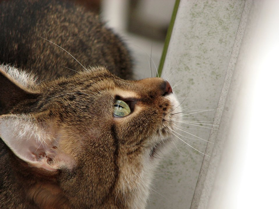 Closeup of cat looking up : Free Stock Photo