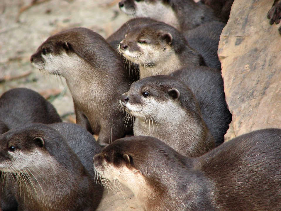 Closeup of a group of otters : Free Stock Photo