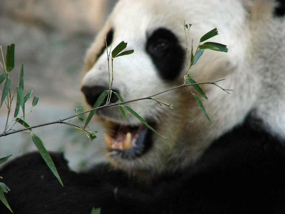 Closeup of a panda bear eating : Free Stock Photo