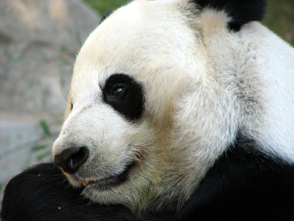 Panda Free Stock Photo Closeup Of A Panda Bear 1148