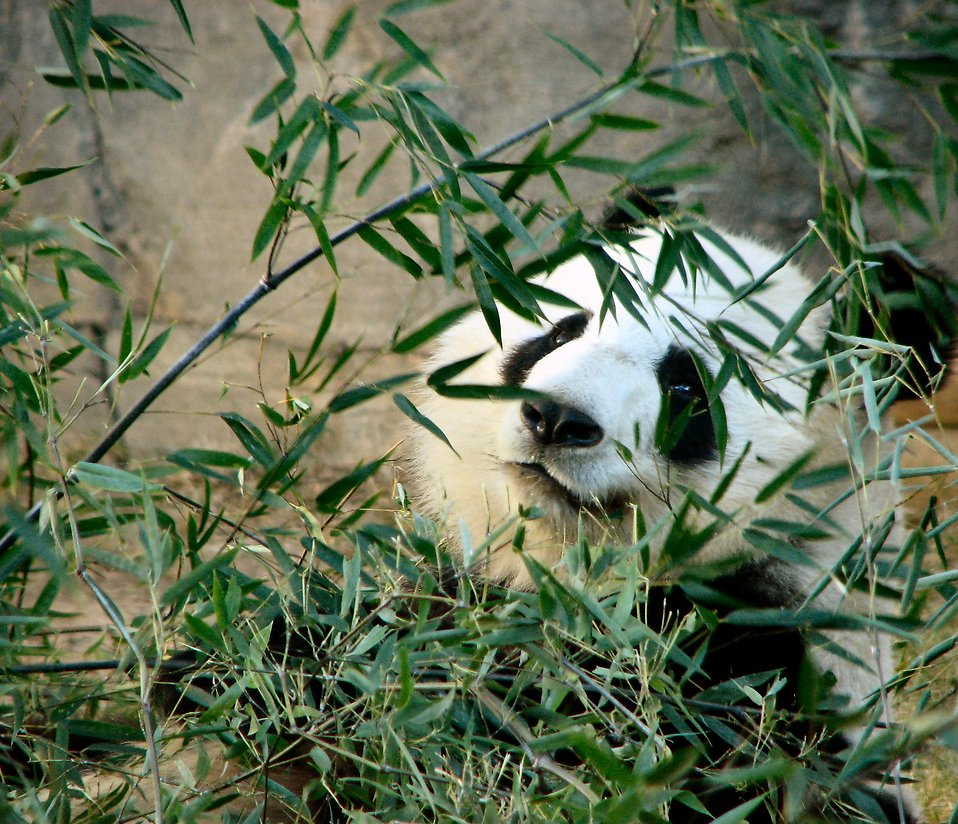 Closeup of a panda bear : Free Stock Photo