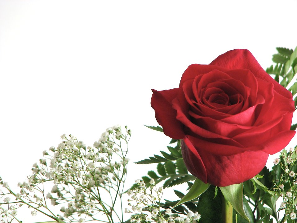 Closeup of a red rose : Free Stock Photo