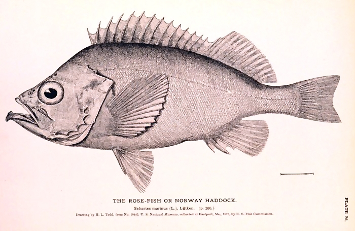 Black and white fish illustration : Free Stock Photo