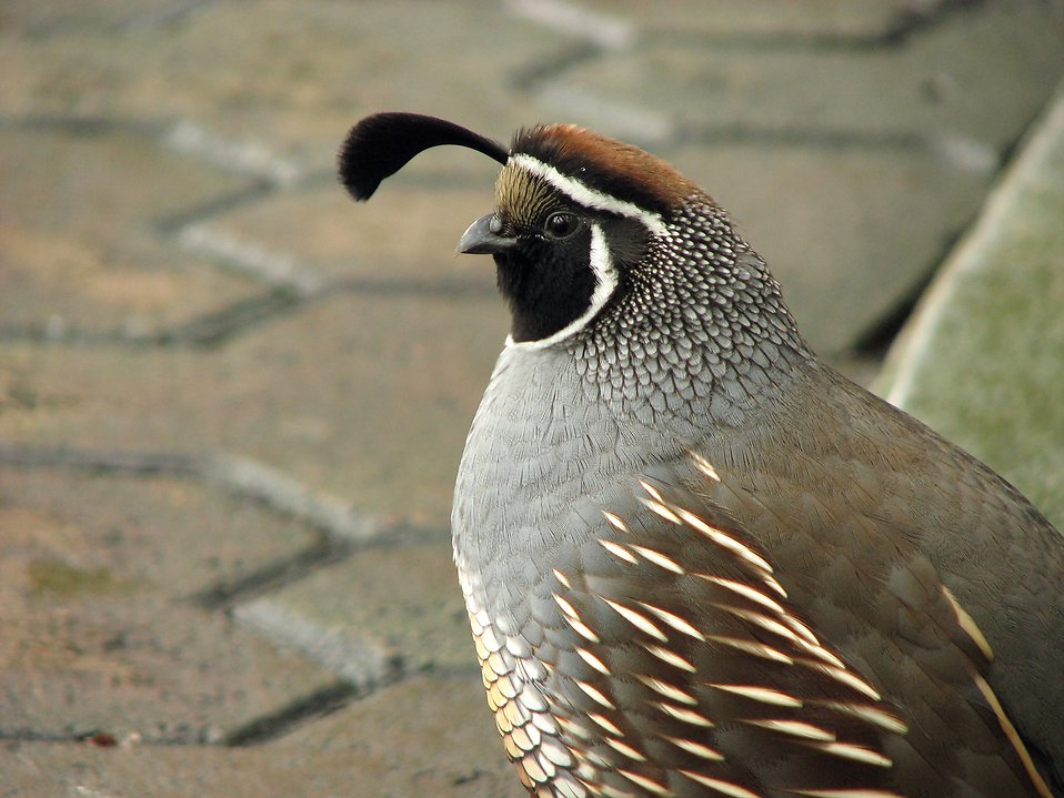 Closeup of a valley quail : Free Stock Photo