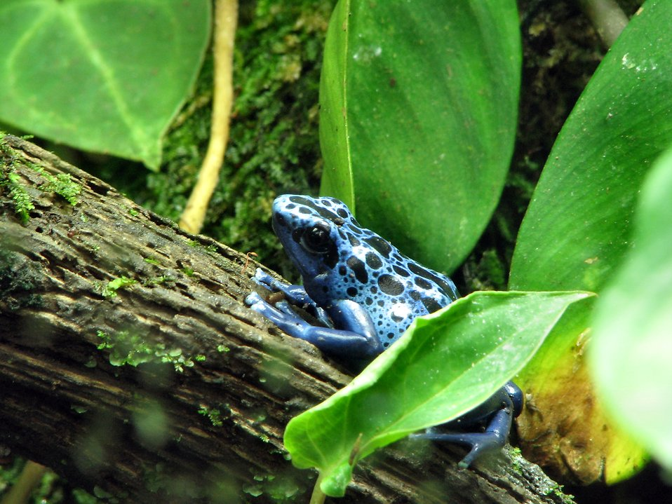 Blue poison frog closeup : Free Stock Photo
