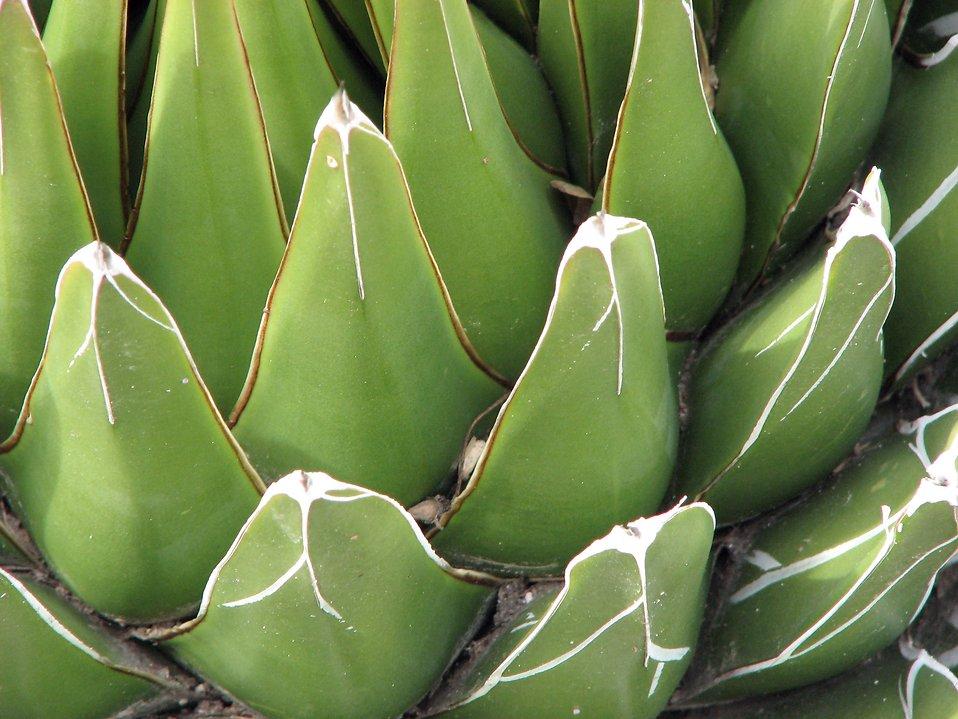 Closeup of a green desert plant : Free Stock Photo