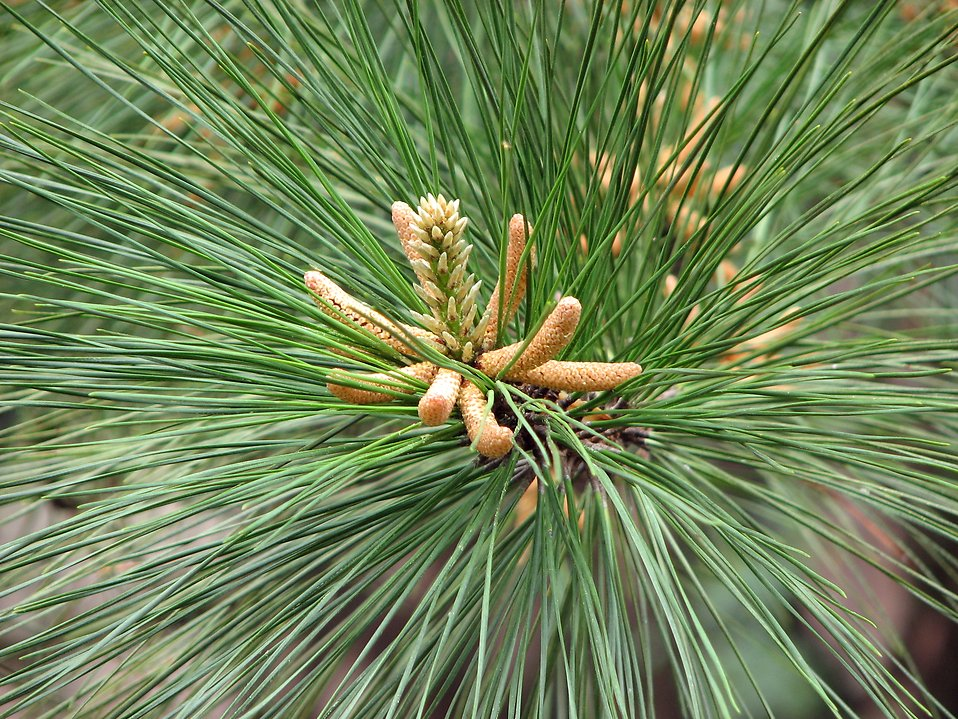 Closeup of pine needles : Free Stock Photo