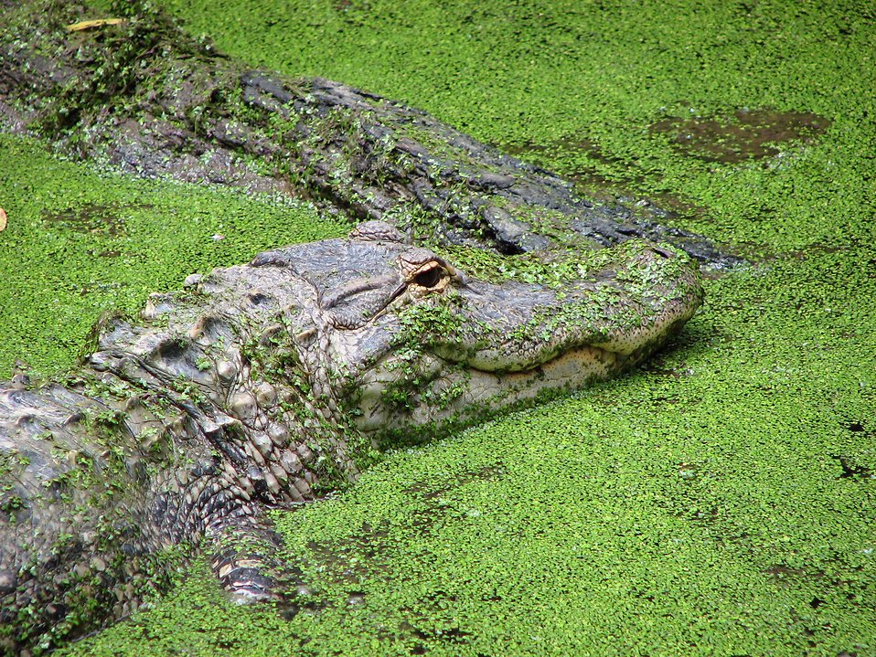 Crocodile in green algae : Free Stock Photo