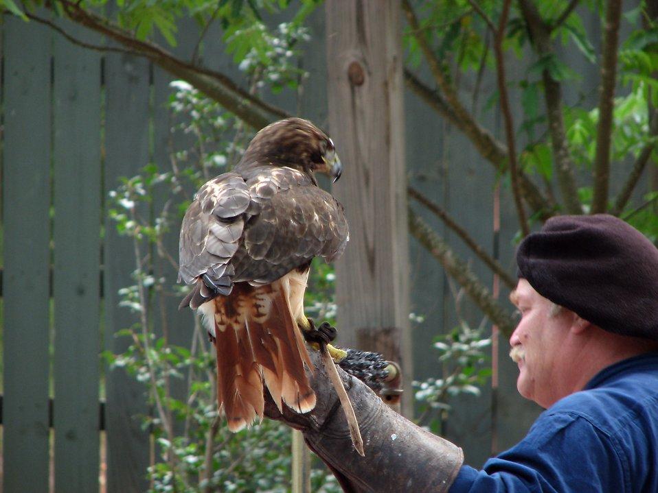 Performer handling a hawk : Free Stock Photo