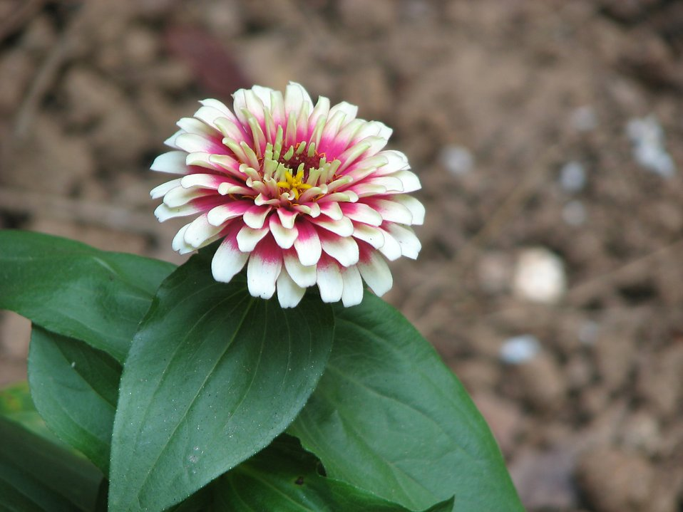 Closeup of pink and white flower : Free Stock Photo