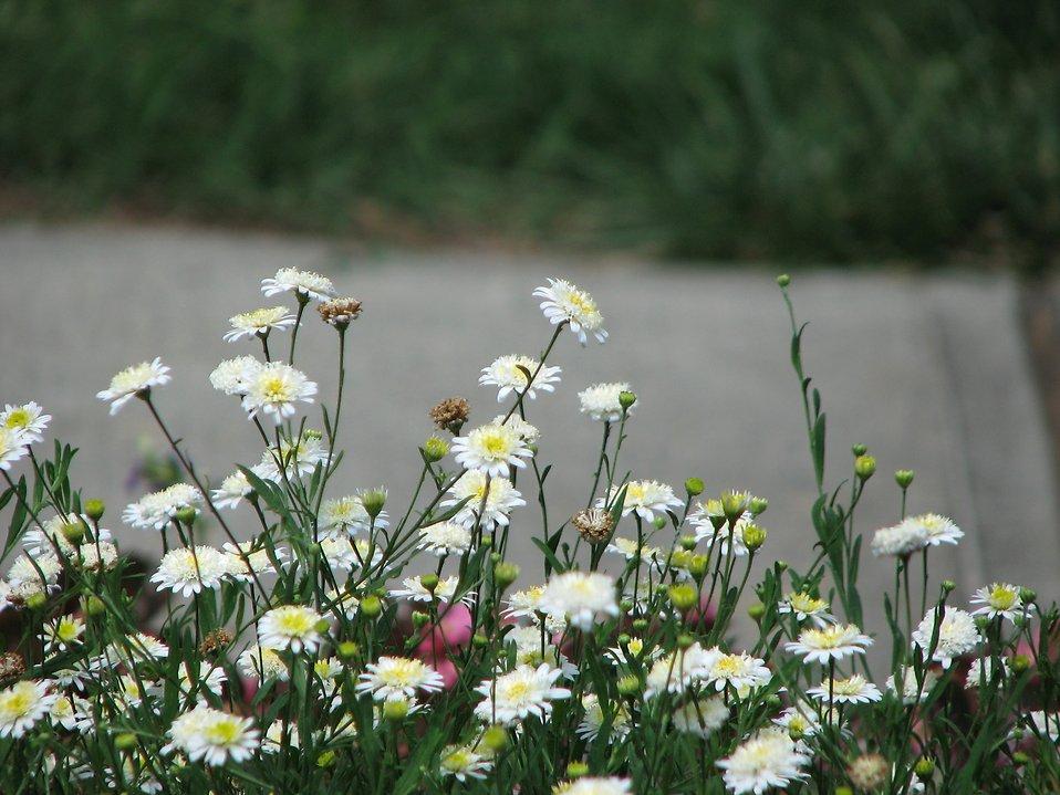 Closeup of white wildflowers : Free Stock Photo