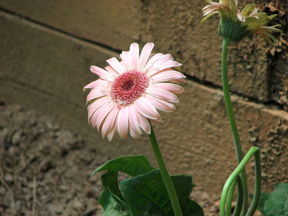 Closeup of pink daisy in garden : Free Stock Photo