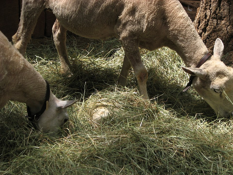 Two sheep eating hay off the ground : Free Stock Photo