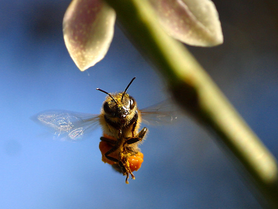 Closeup of a bee flying : Free Stock Photo