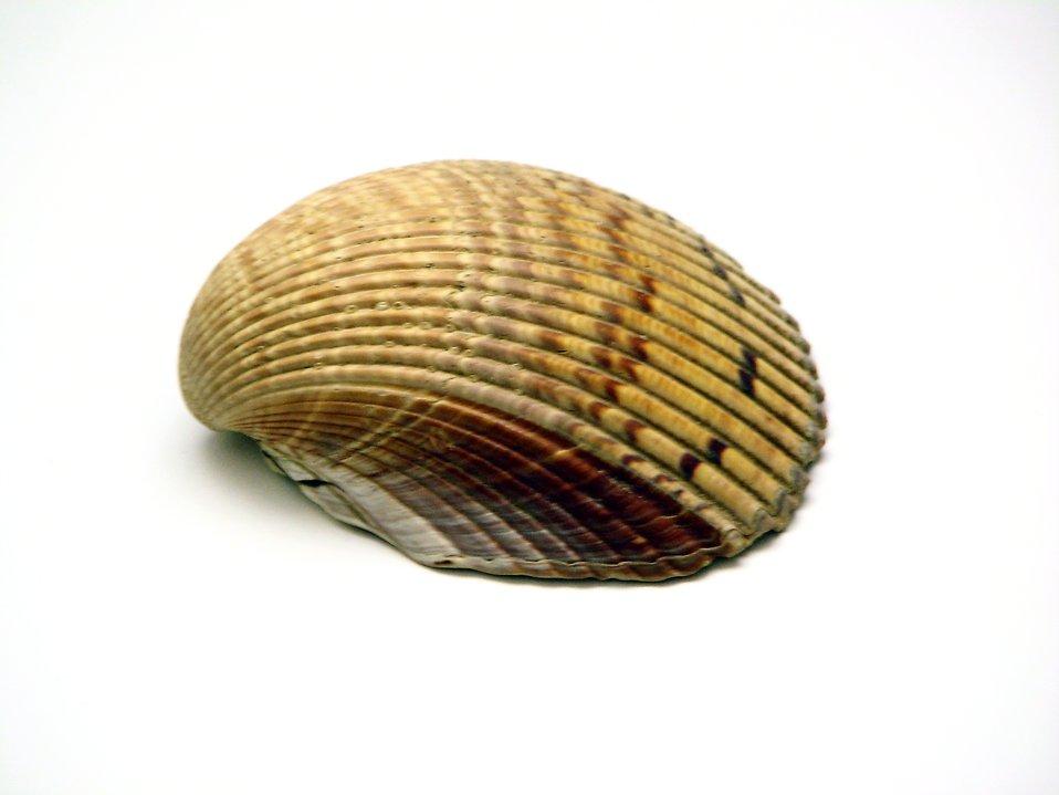 Sea shell on a white background : Free Stock Photo