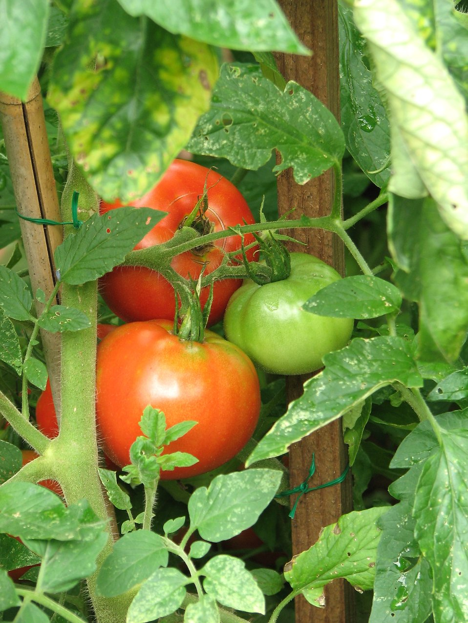 Green and red tomatoes in a garden : Free Stock Photo