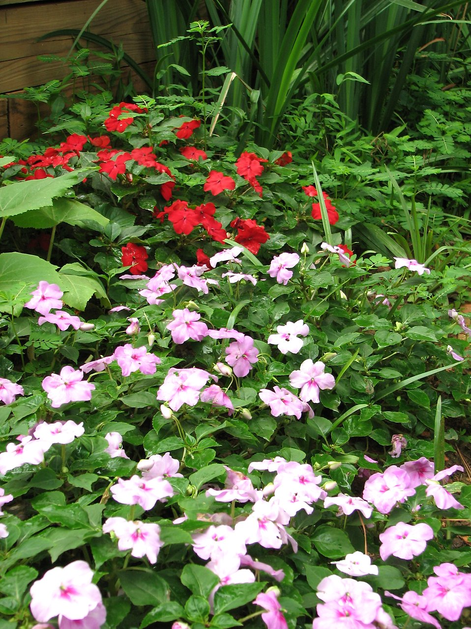 Red and purple flowers in a garden : Free Stock Photo
