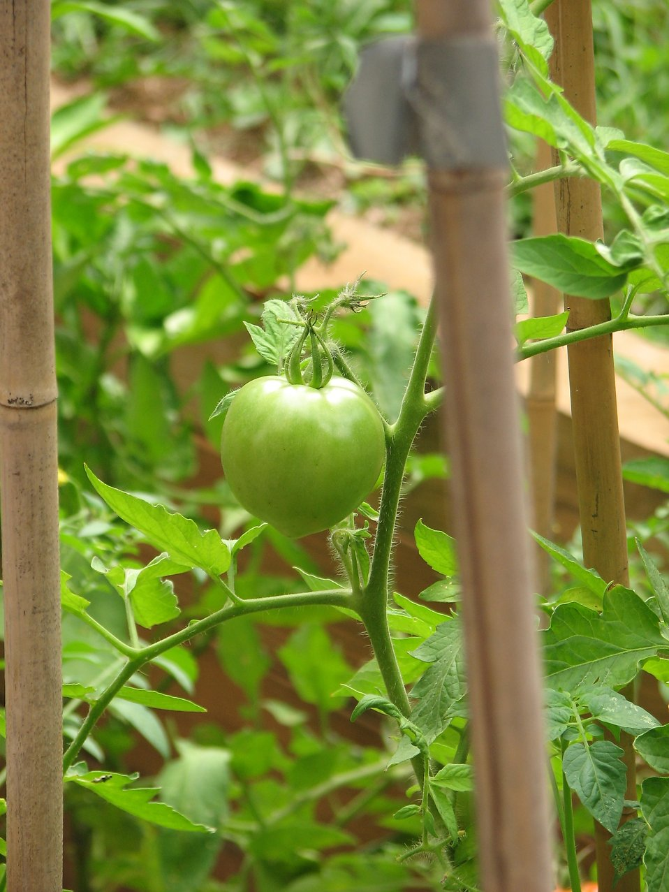 Closeup of a green tomato in a garden : Free Stock Photo