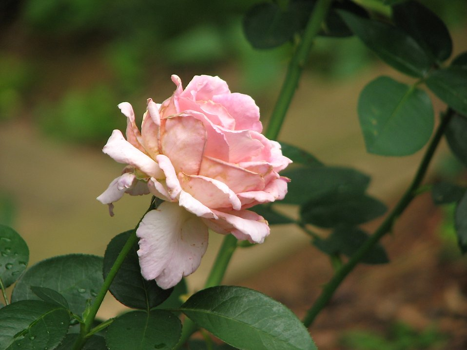 Closeup of a pink rose : Free Stock Photo