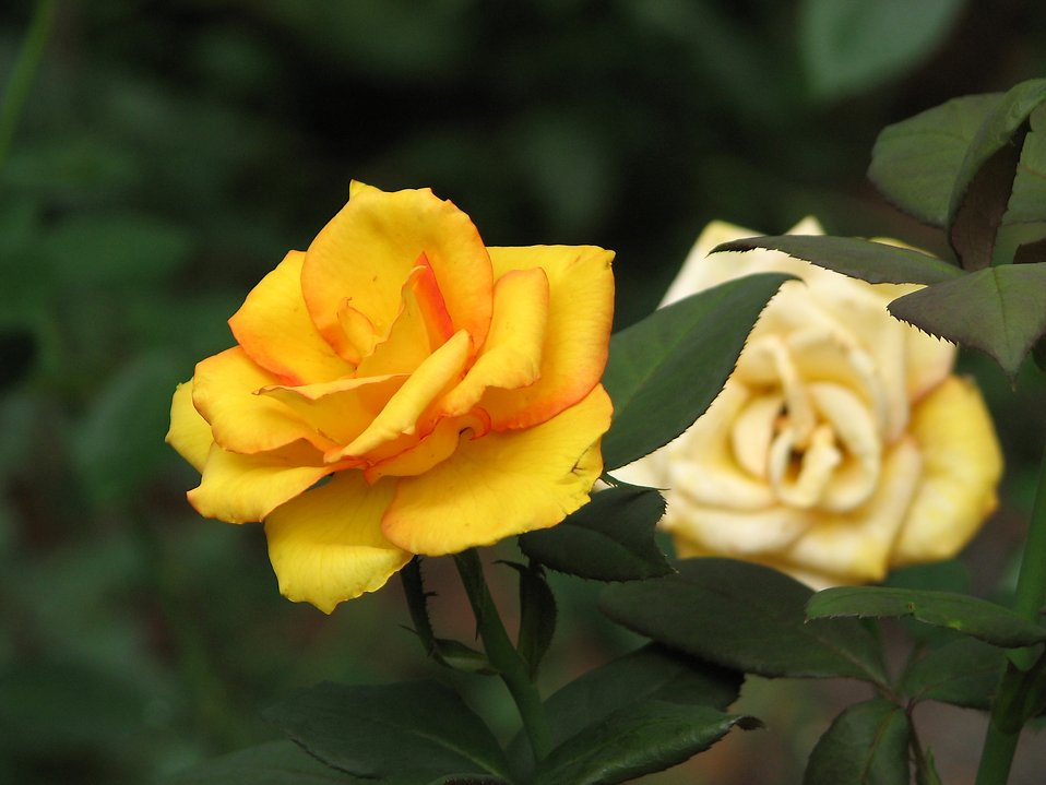Closeup of a yellow and white rose : Free Stock Photo