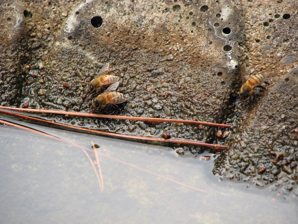 Closeup of three honey bees by water : Free Stock Photo