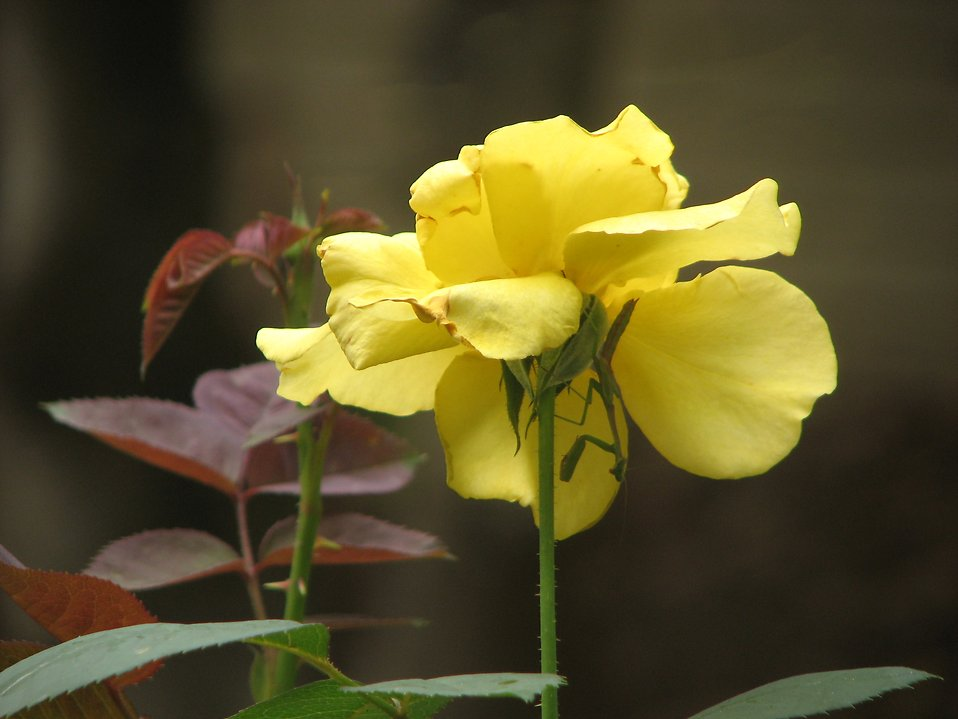 Closeup of a yellow rose : Free Stock Photo