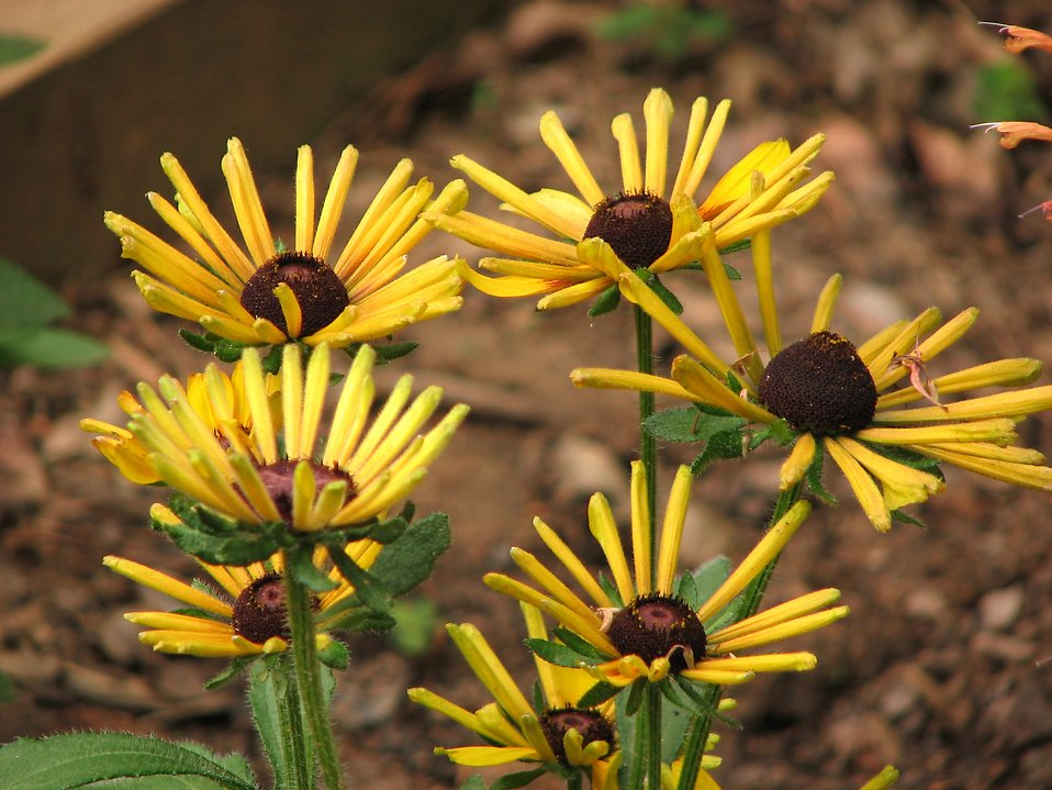 A group of yellow coneflowers : Free Stock Photo