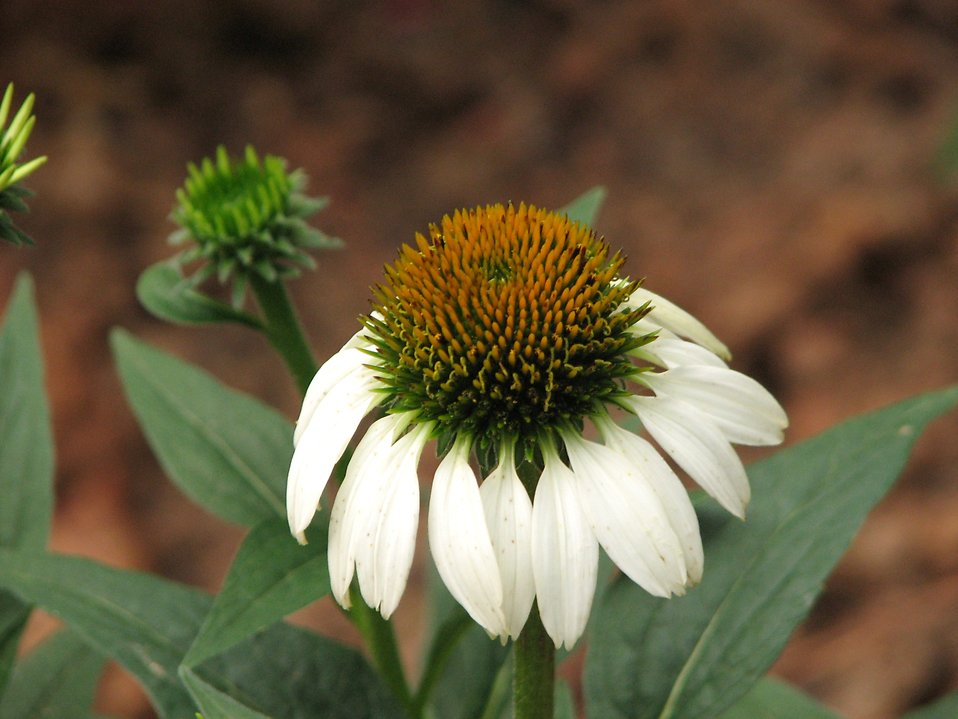 Closeup of a white coneflower : Free Stock Photo