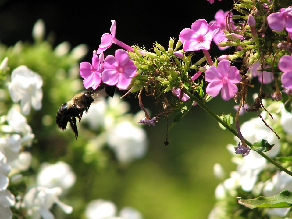 Closeup of a bee flying to a purple flower : Free Stock Photo
