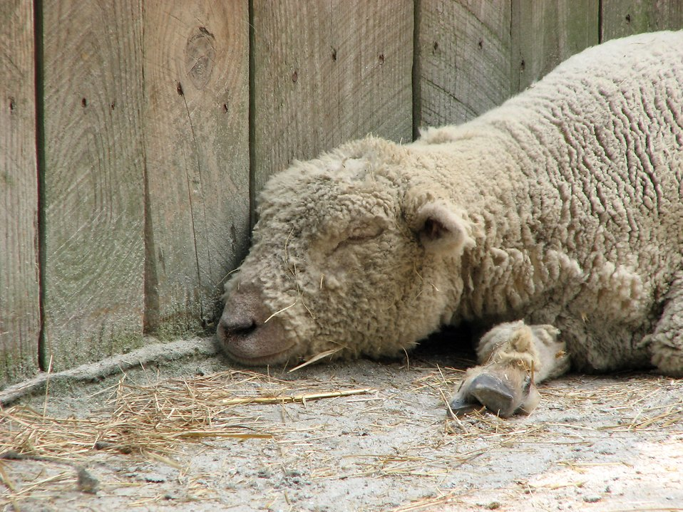 A sheep sleeping against a wall : Free Stock Photo