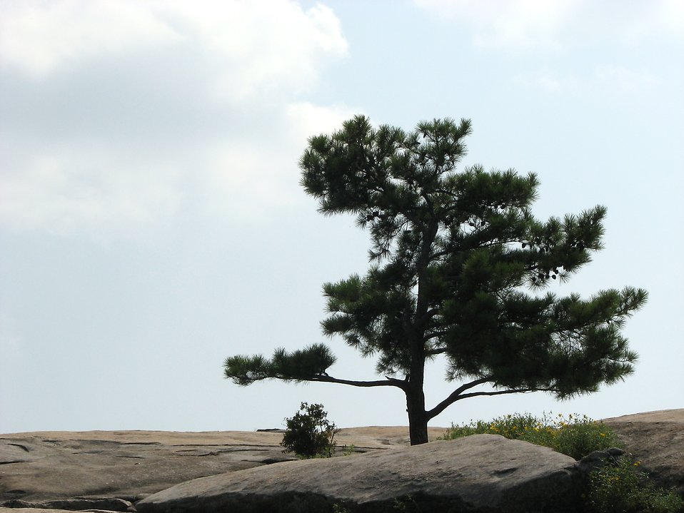Single tree on the top of Stone Mountain : Free Stock Photo