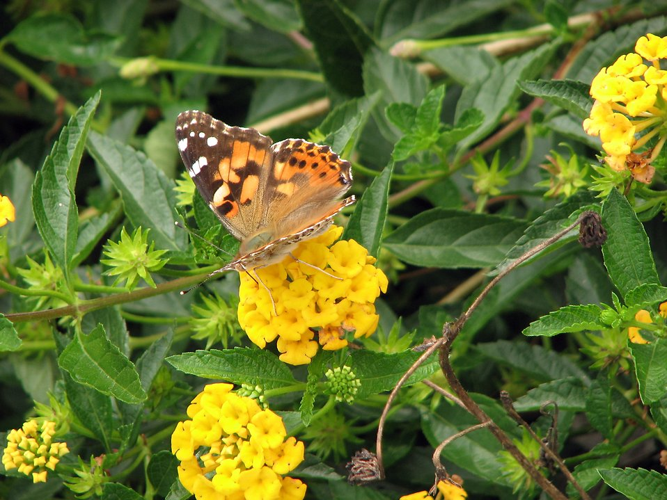 An orange butterfly sitting on a yellow flower : Free Stock Photo