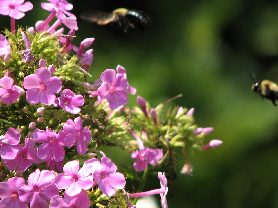Bees hovering around small purple flowers : Free Stock Photo