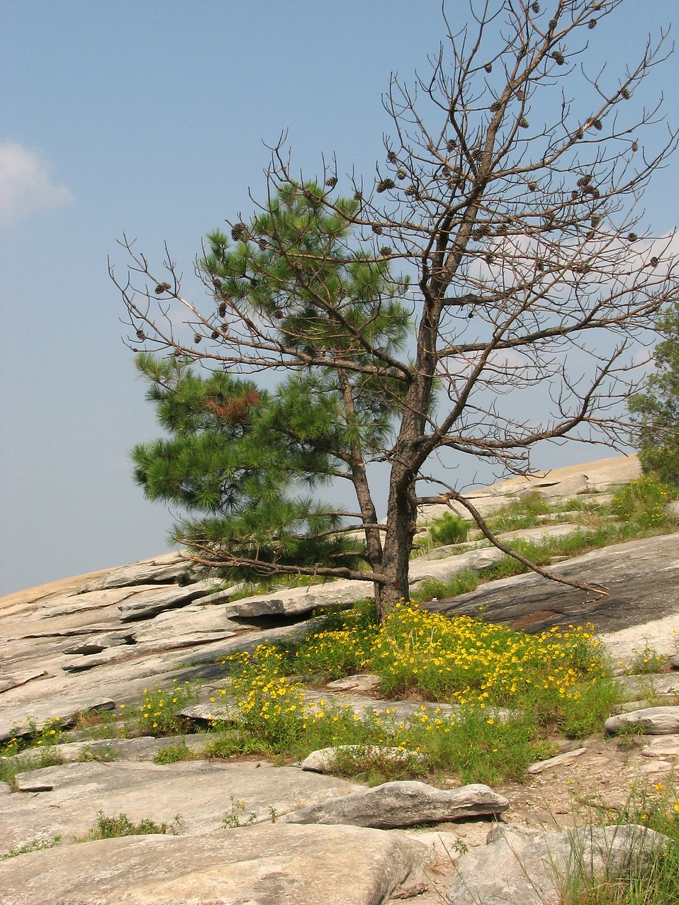 Trees and flowers on the top of Stone Mountain : Free Stock Photo