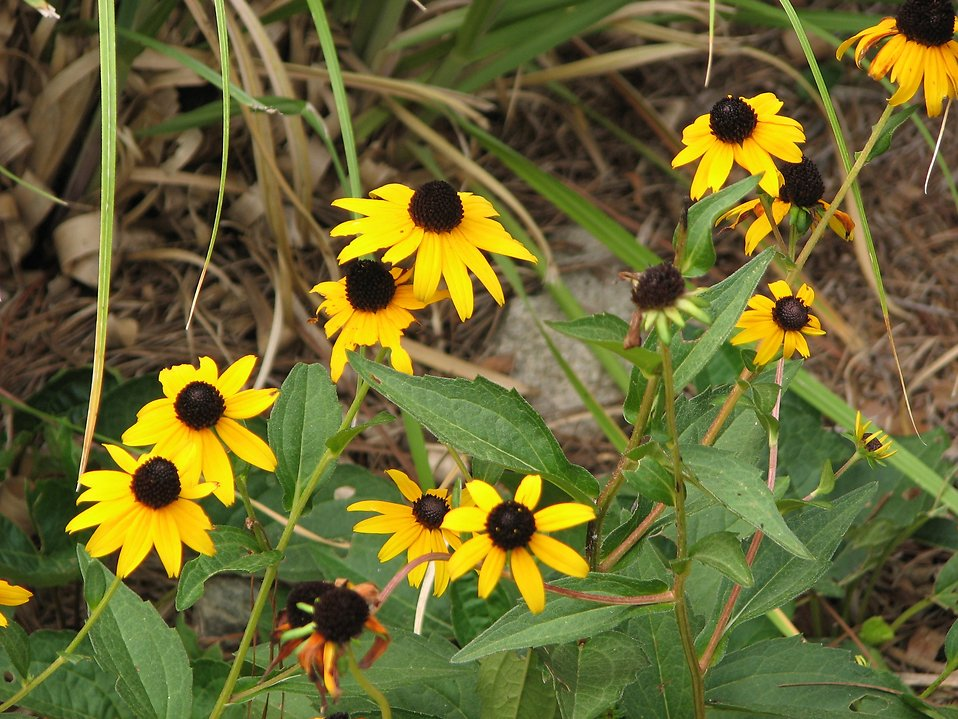 Small patch of yellow coneflowers : Free Stock Photo