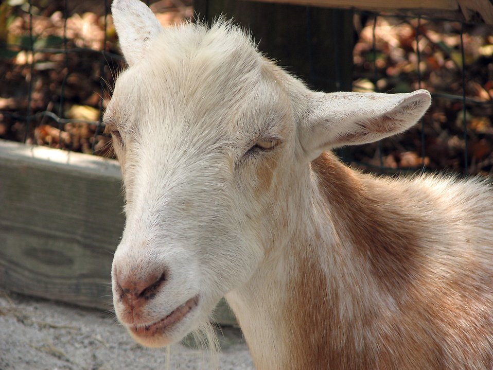 Closeup of a white goat : Free Stock Photo